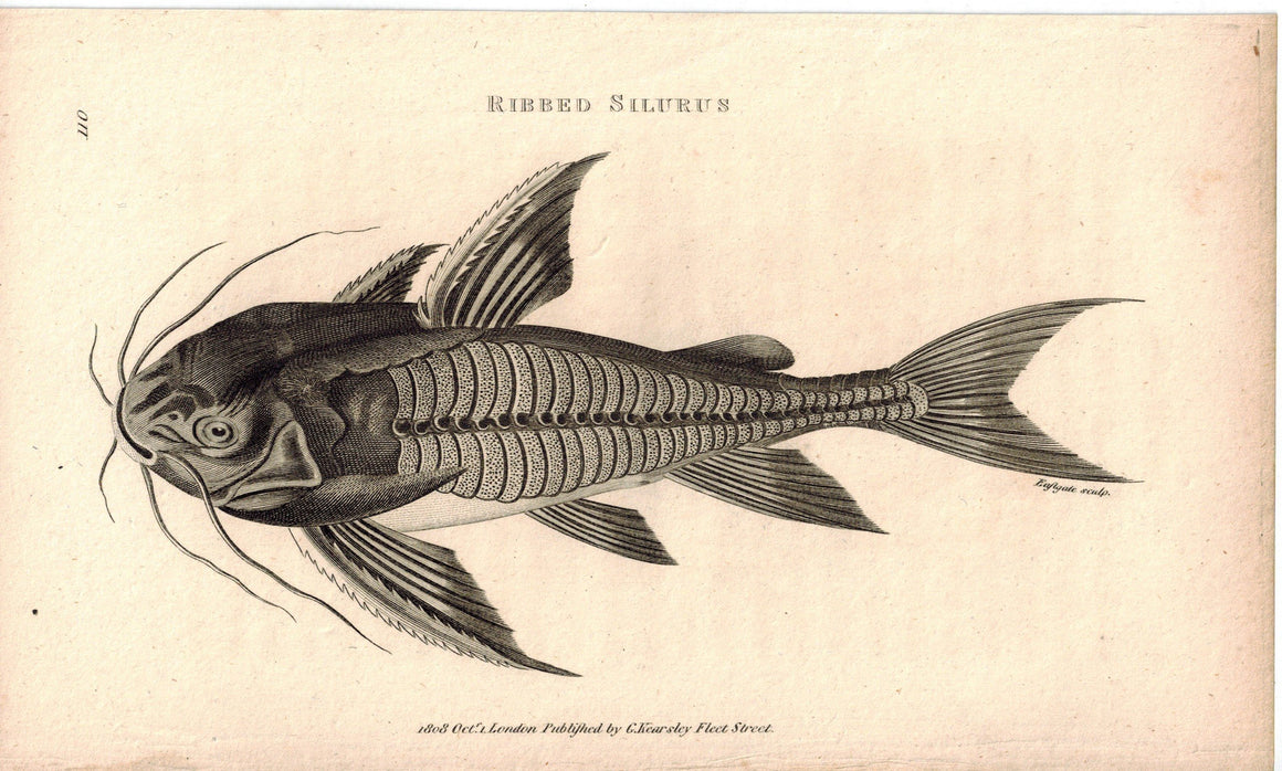 Ribbed Silurus 1809 Original Antique Engraving Print by Shaw & Griffith