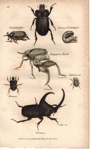 Dydymus Enema Insect Beetles 1809 Antique Engraving Print by Shaw & Griffith