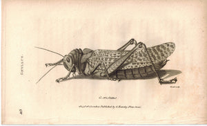 Gryllus Field Cricket Grasshopper Insect 1809 Original Engraving Print by Shaw