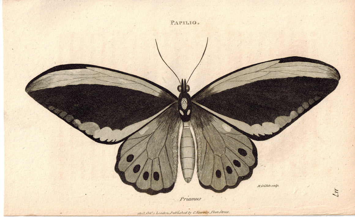 Papilio Priamus Priam Butterfly 1809 Original Engraving Print by Shaw & Griffith