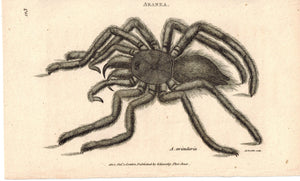 Aranea Avicularia Bird-Catching Spider 1809 Original Print by Shaw & Griffith