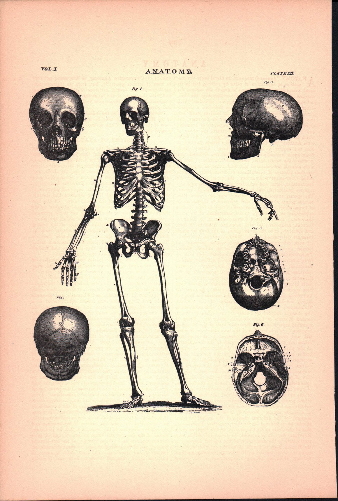 Anatomy Skeleton Skull Antique Print 1887