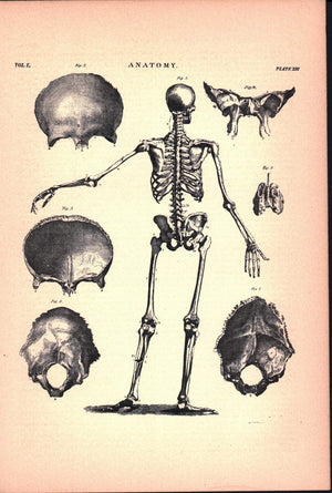 Anatomy Skeleton Back Skull Antique Print 1887
