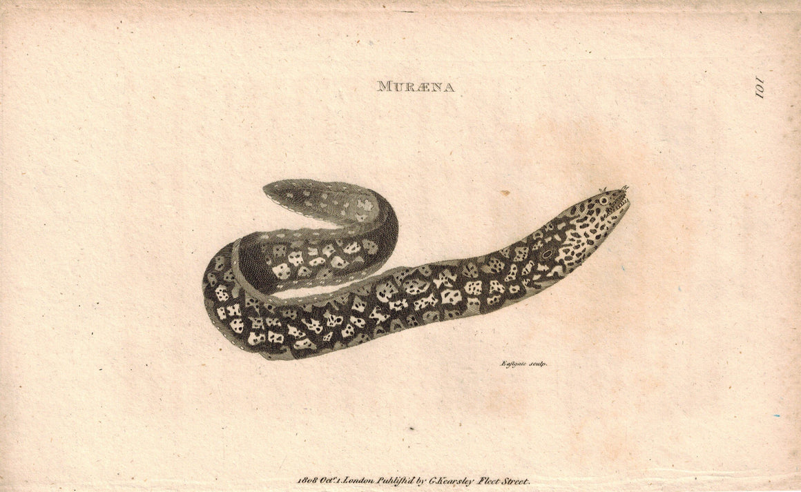 Muraena 1809 Original Antique Engraving Print by Shaw & Griffith