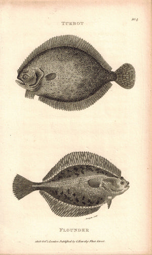 Turbot & Flounder Fish 1809 Original Antique Engraving Print by Shaw & Griffith