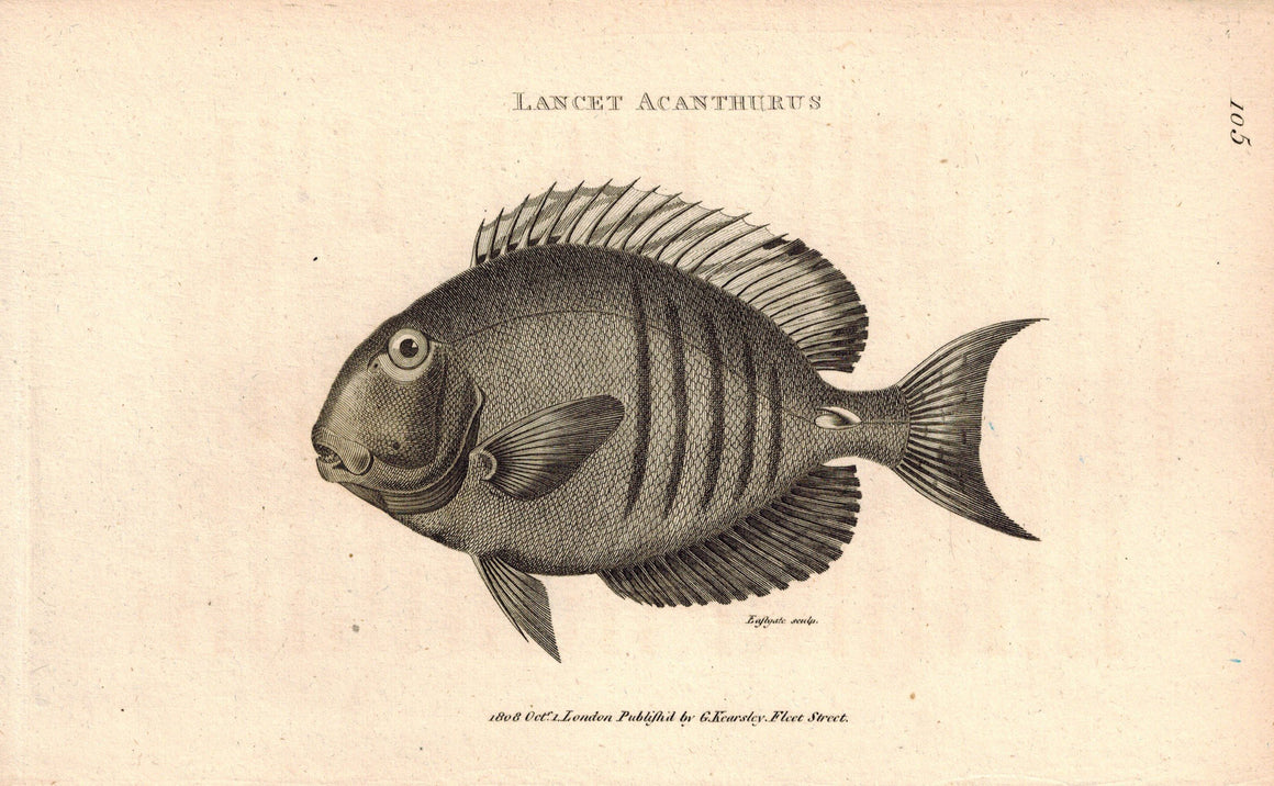 Lancet Acanthurus Surgeon Fish 1809 Original Engraving Print by Shaw & Griffith