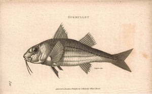 Surmullet Fish 1809 Original Engraving Print by Shaw & Griffith