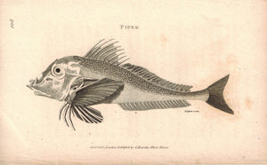 Piper Fish 1809 Original Engraving Print by Shaw & Griffith