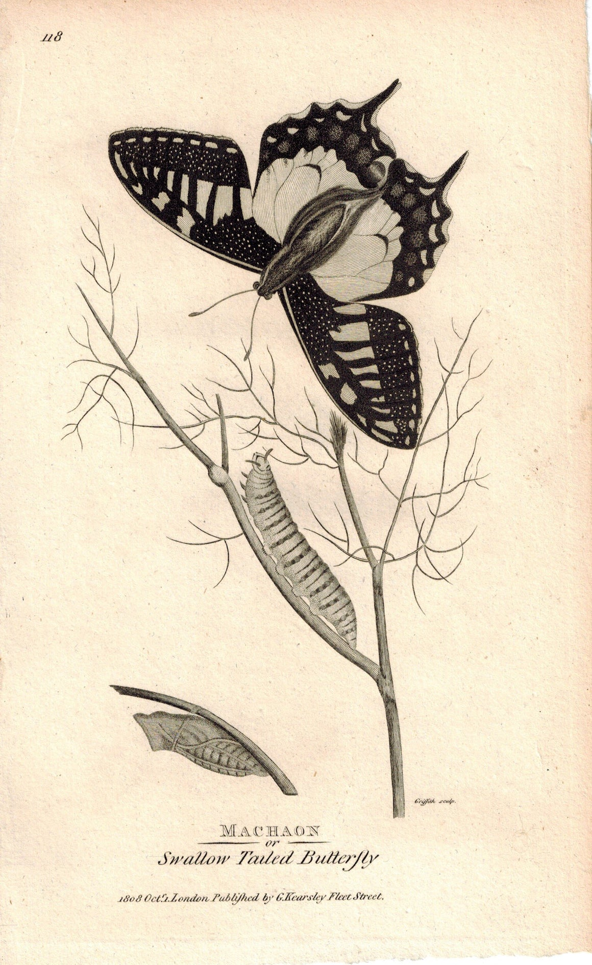 Machaon Swallow Tailed Butterfly 1809 Engraving Print by Shaw & Griffith