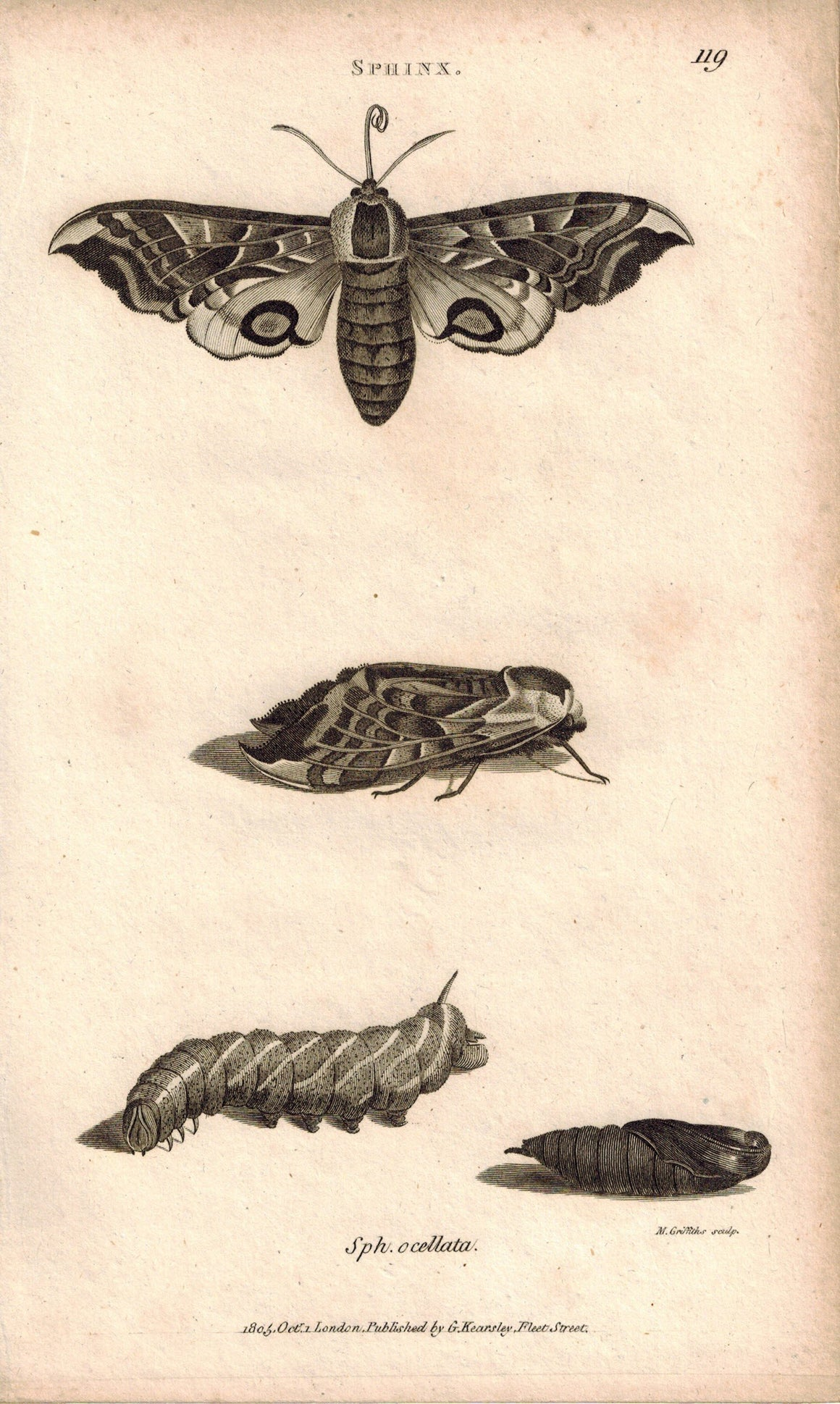 Insects Sphinx Moth Pupa 1809 Original Engraving Print by Shaw & Griffith
