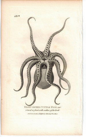 Eight Armed CuttleFish 1809 Original Engraving Shaw Print Octopus, Squid