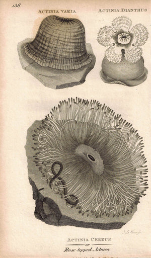 Actiniaria Sea Anemone 1809 Original Engraving Print by Shaw & Griffith