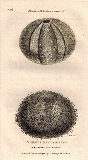 Echinus Esculentus or Common Sea Urchin 1809 Original Engraving Shaw Print