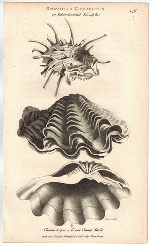 Subauriculated Spondylus & Great Clamp Shell 1809 Original Engraving Shaw Print