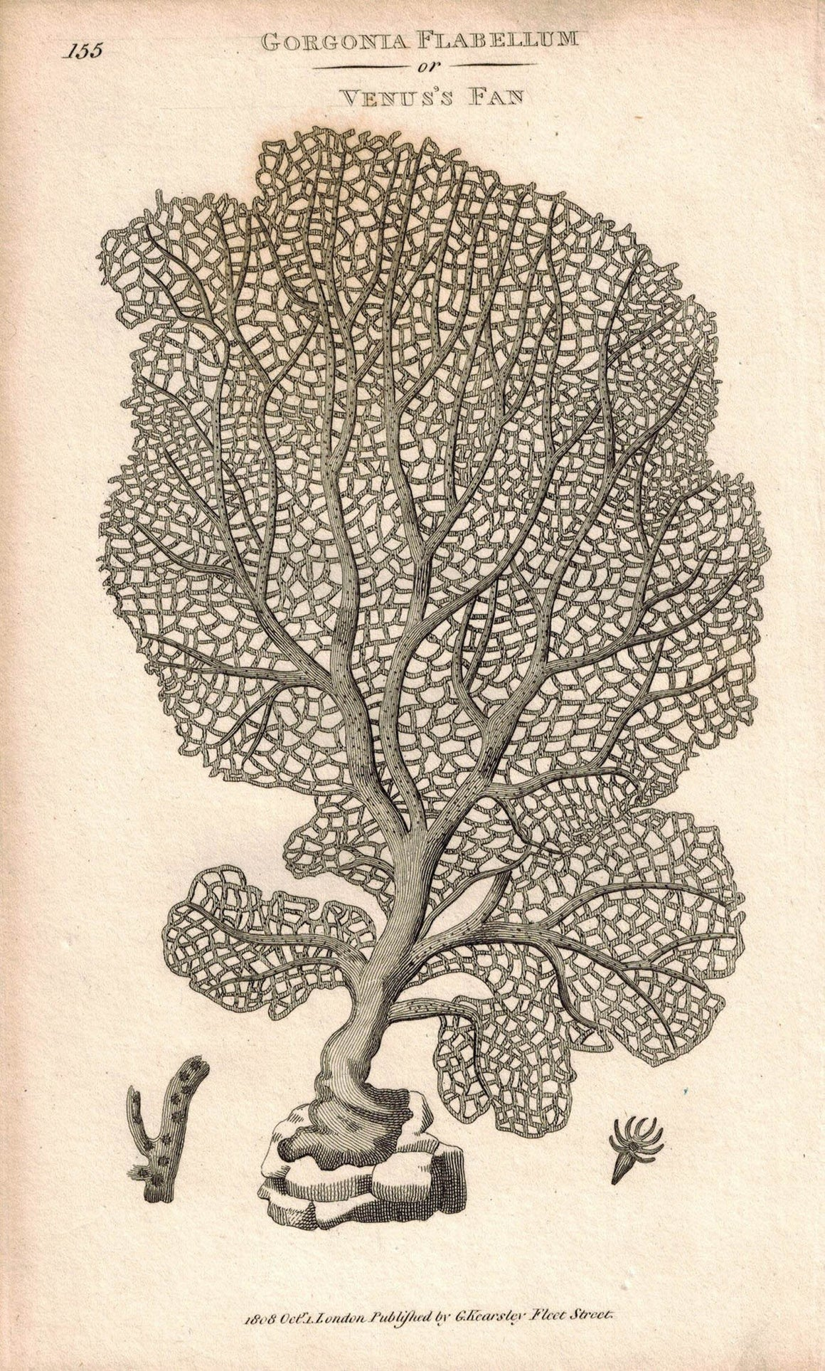 Gorgonia Flabellum or Venus's Sea Fan Coral 1809 Original Engraving Shaw Print