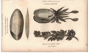 Sepia Officinalis & CuttleFish 1809 Original Engraving 2 Shaw Prints