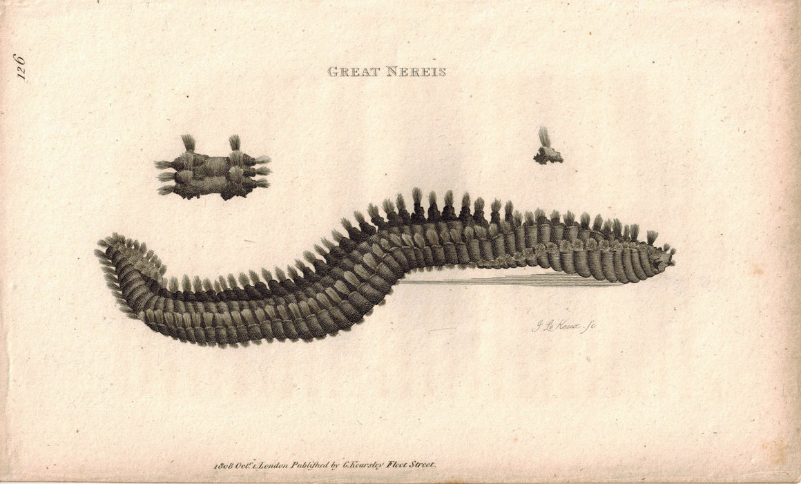 Great Nereis Bristle Worm 1809 Original Engraving Print by Shaw & Griffith