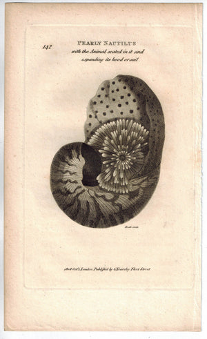 Pearly Nautilus 1809 Original Engraving Print by Shaw & Griffith