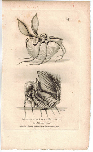 Argonaut or Paper Nautilus 1809 Original Engraving Print by Shaw & Griffith