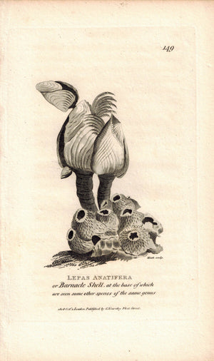 Barnacle Shell Lepas Anatifera 1809 Original Engraving Print by Shaw & Griffith