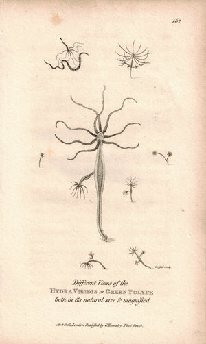 Polypes Hydra Viridis 1809 Original Engraving Fauna Print by Shaw & Griffith