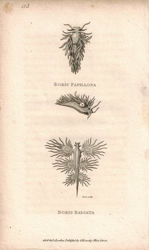 Doris Papillosa & Radiata 1809 Original Engraving Fauna Print by Shaw & Griffith