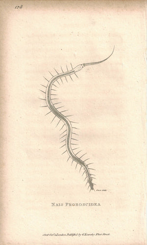 Nais Proboscidea 1809 Original Engraving Print by Shaw & Griffith