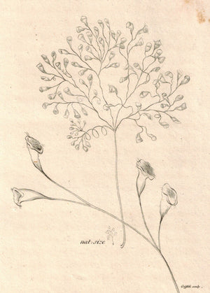 Vorticella Racemosa 1809 Original Engraving Print by Shaw & Griffith