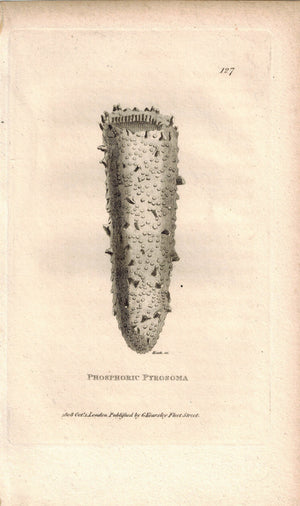 Phosphoric Pyrosoma 1809 Original Engraving Print by Shaw & Griffith