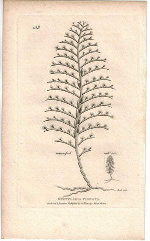 Sertularia Pinnata Sea Pen 1809 Original Engraving Print by Shaw & Griffith
