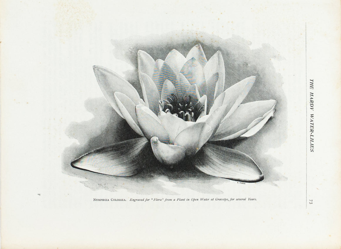 Hardy Water-Lilies 1905 Flora and Sylva Print