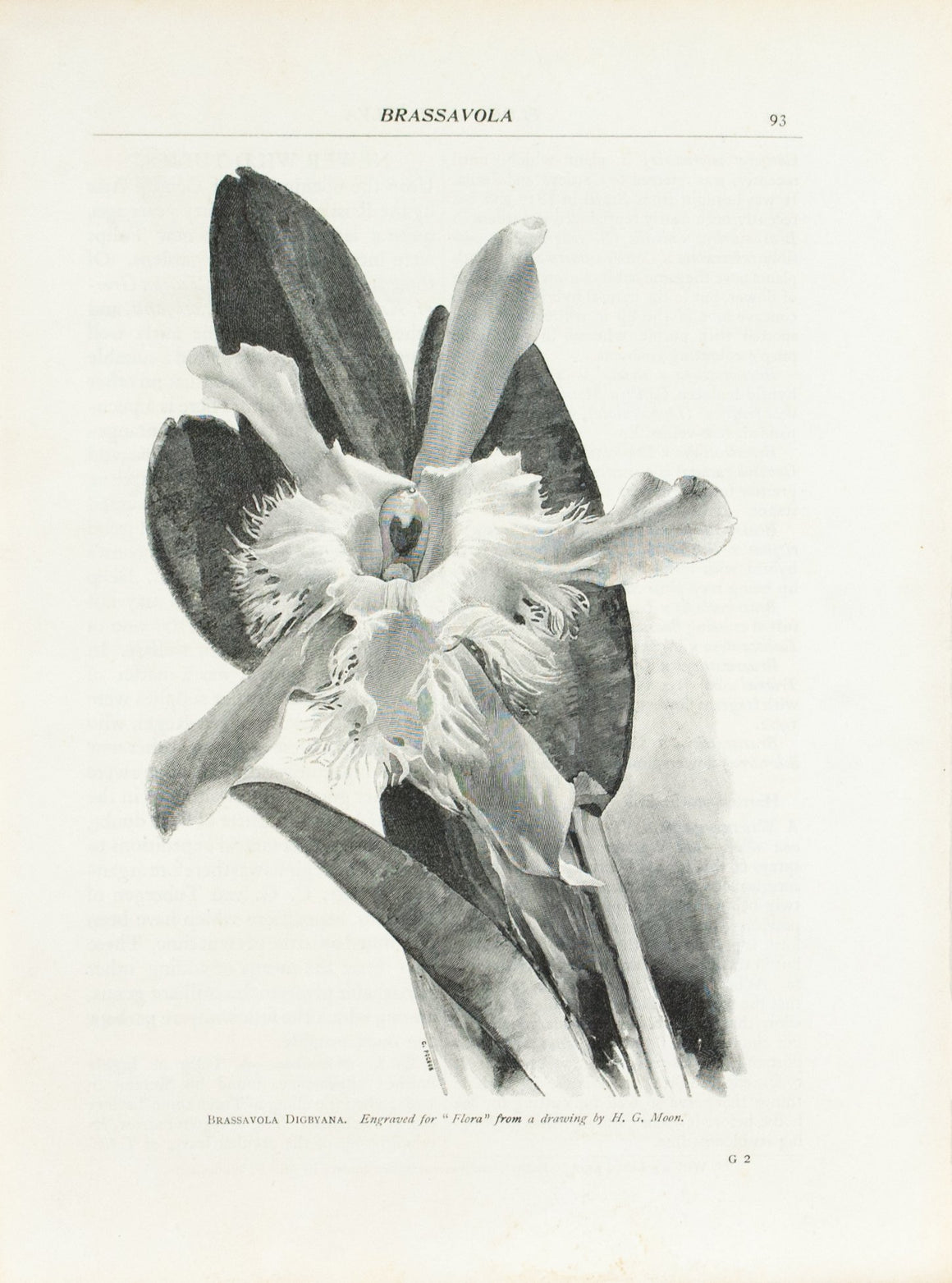 Brassavola Orchid from H.G. Moon drawing 1905 Flora and Sylva Print