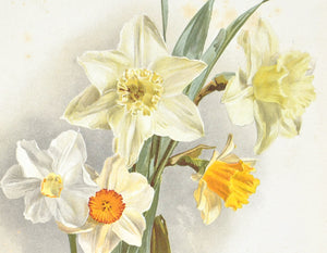 Some New Narcissi 1905 Henry Moon Daffodil Botanical Flower Print
