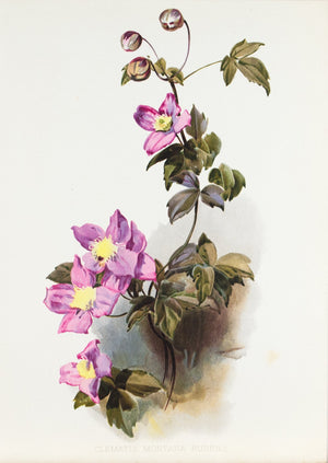Pink Perfection (Clematis Montana Rubens) 1905 Henry Moon Botanical Flower Print