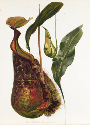 Nepenthes Sanderiana 1905 Henry Moon Botanical Pitcher Plant Print
