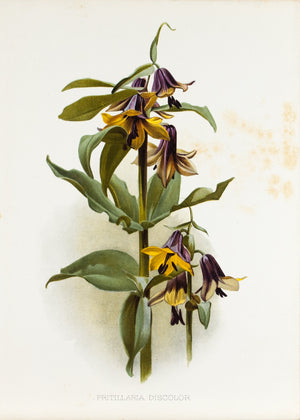 Fritaillaria Discolor 1905 Henry Moon Botanical Flower Print