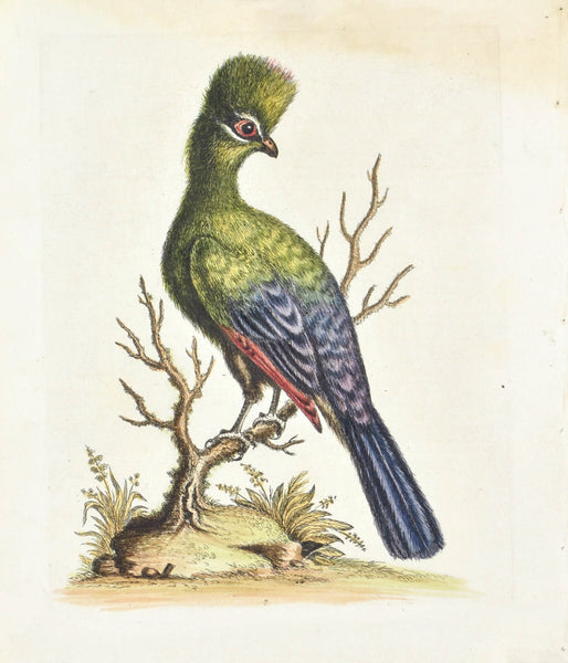 Touraco  by George Edwards  c. 1743 Hand Colored Antique Bird Print