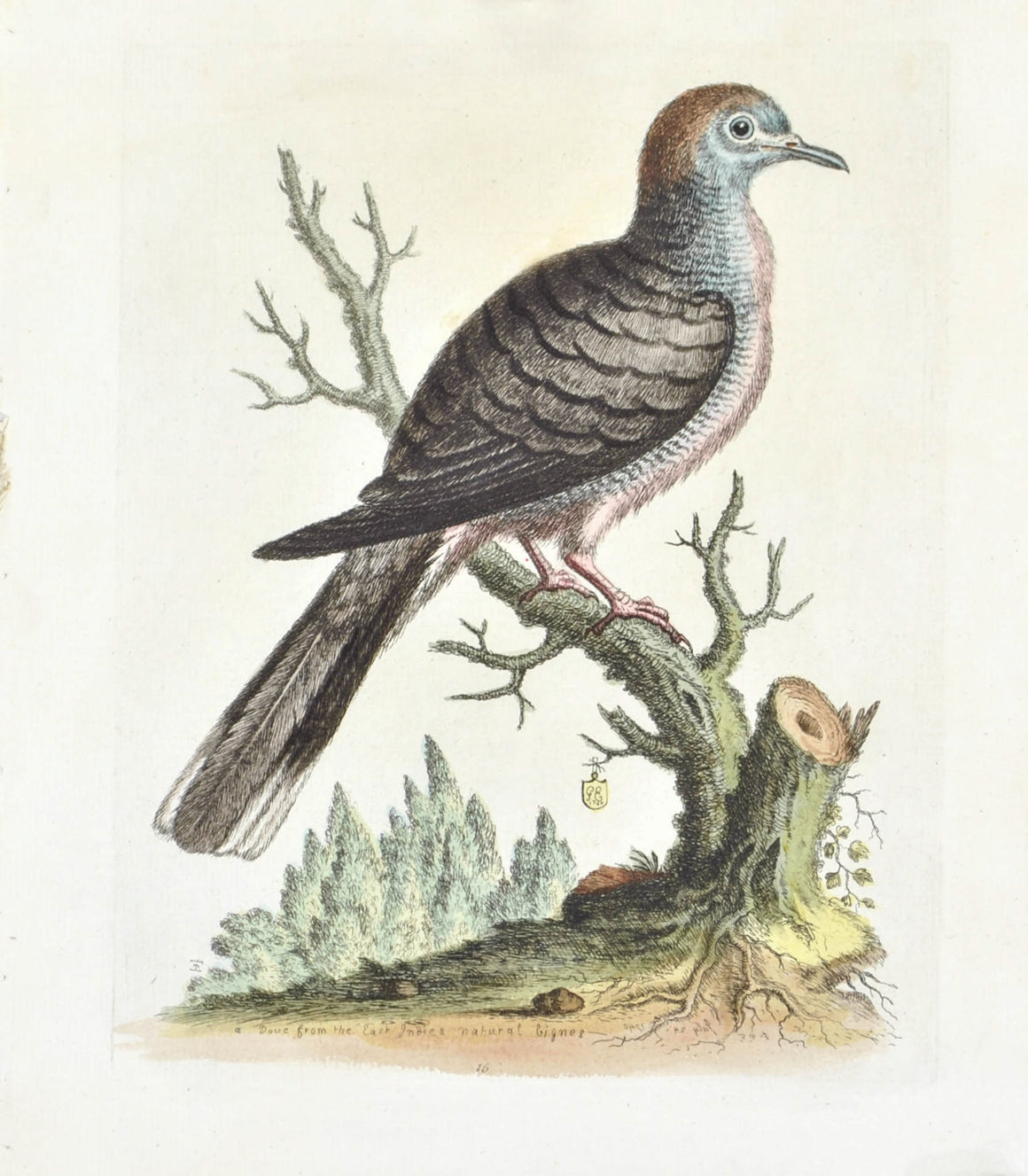 Dove from the East Indies by George Edwards c. 1743 Antique Bird Print