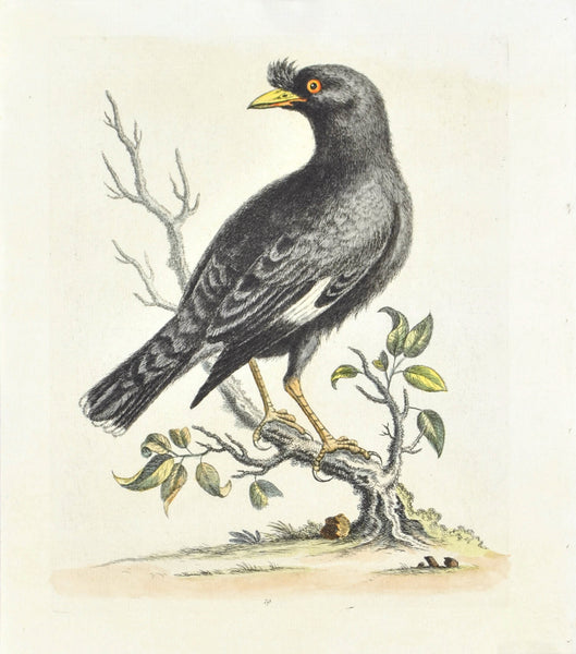 The Chinese Starling or Black-Bird by George Edwards c. 1743 Bird Print