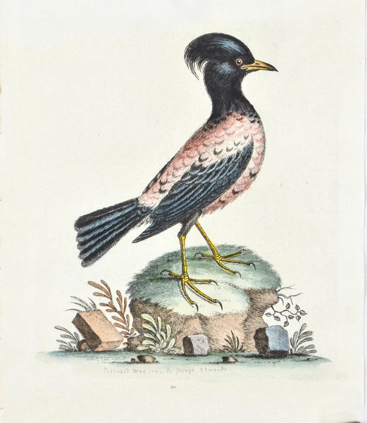Rose or Carnation-coloured Ouzel by George Edwards c. 1743 Antique Bird Print