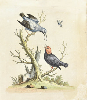 The Blue Creeper from Surinam by George Edwards c. 1743 Antique Bird Print