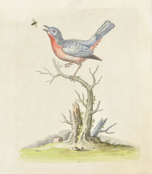 The Blue Red Breast by George Edwards c. 1743 Hand Colored Antique Bird Print