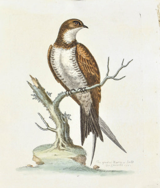 The Greatest Martin or Swift by George Edwards  c. 1743 Antique Bird Print