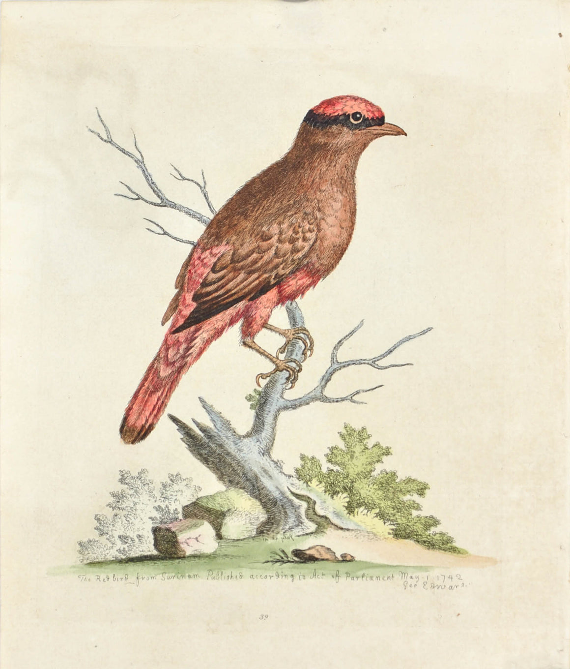 The Red Bird from Surinam by George Edwards c. 1743 Antique Bird Print