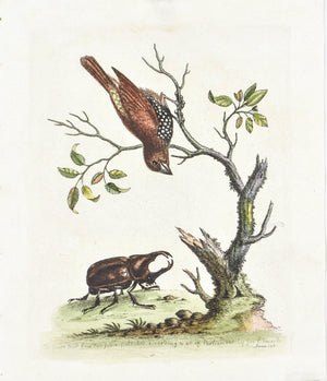The Gowry Bird from East Indies by George Edwards c. 1743 Antique Bird Print