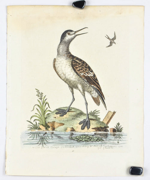 The Coot-footed Tringa by George Edwards c. 1743 Antique Bird Print