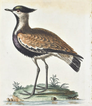 Black-breasted Indian Plover by George Edwards c. 1743 Antique Bird Print