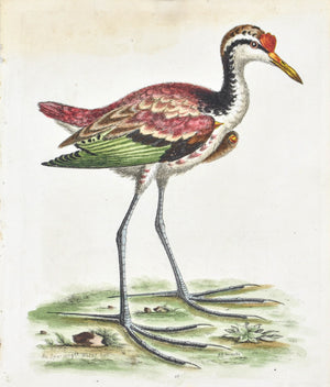 Spur-winged Water Hen by George Edwards c. 1743 Antique Bird Print