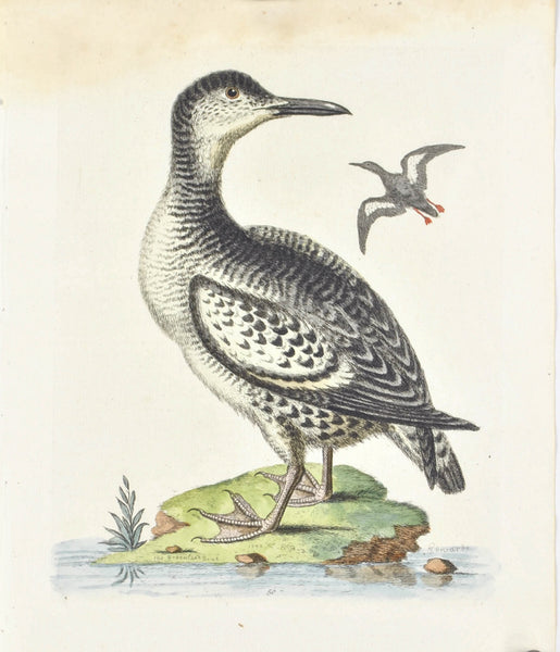 The Spotted Greenland Dove by George Edwards c. 1743 Antique Bird Print