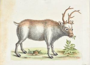 The Greenland Buck by George Edwards  c. 1743 Hand Colored Antique Bird Print